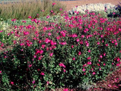 salvia ornamentale da fiore