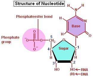 Nucleic Acids- a nucleotide, a monomer of a nucleic acid
