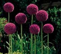 Best 25 Allium flowers ideas on Pinterest Purple garden Easy