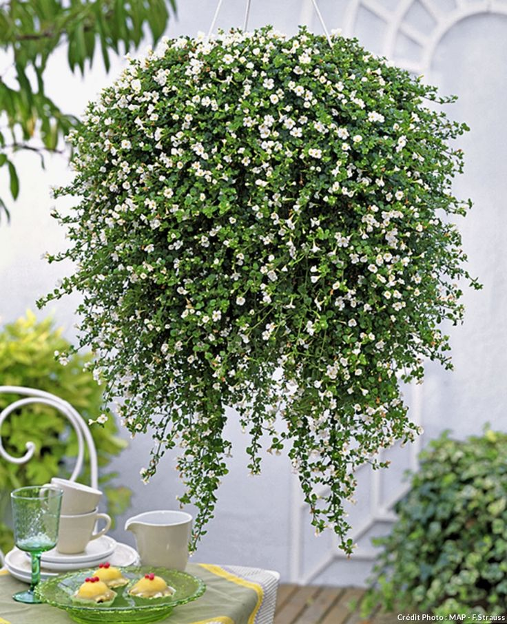 29 best fleurs blanches white flowers images on pinterest white flowers shrub and decks. Black Bedroom Furniture Sets. Home Design Ideas