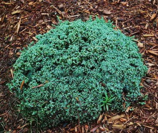 Juniperus horizontalis 'Blue Pygmy' - Conifers › Juniper | Maplestone Ornamentals