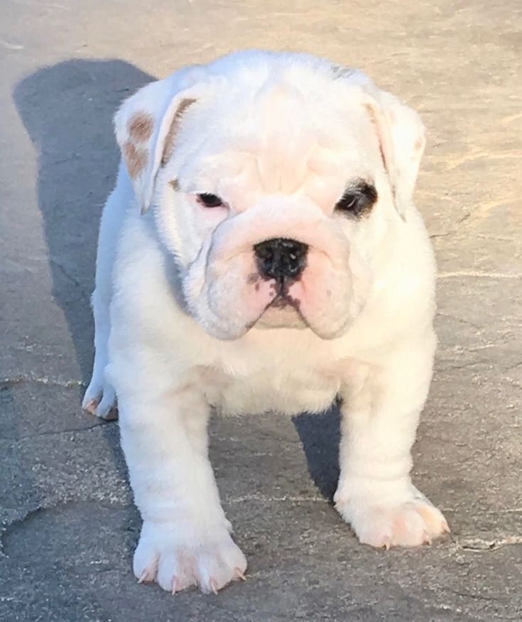 Cupcake is a white female English Bulldog puppy for sale. For more information call/test Adele at 303.653.1437 #buldog
