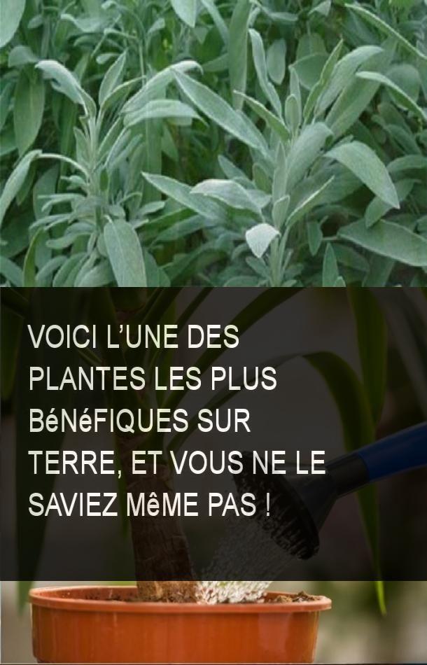 Voici l'une des plantes les plus bénéfiques sur terre, et vous ne le saviez même pas !