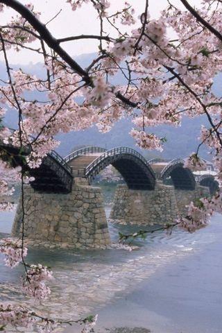 Sakuragawa river, Japan。錦帯橋と桜。桜川。広島県。
