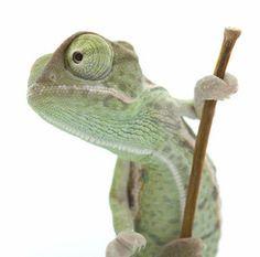 Types of Pet Chameleons
