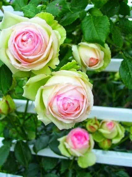 Esperanza roses, or I think I've seen them called Eden.  But the pink and green are beautiful!  Reminds me of my cousin Tammye's wedding years ago.  Her colors were pink and green.  She was such a gorgeous bride, with pink rose buds in her blonde hair!