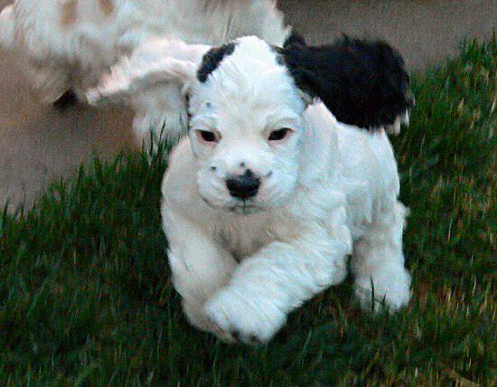 Cocker Spaniel Puppy--looks like BEBE!