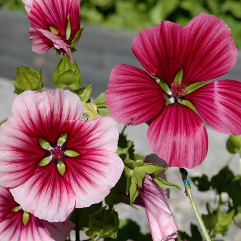 PRAKTMALVA i gruppen Ettåriga blomsterväxter hos Impecta Fröhandel (8540)