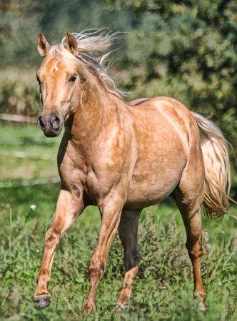 Palomino Quarter Horse with dapples. So pretty!