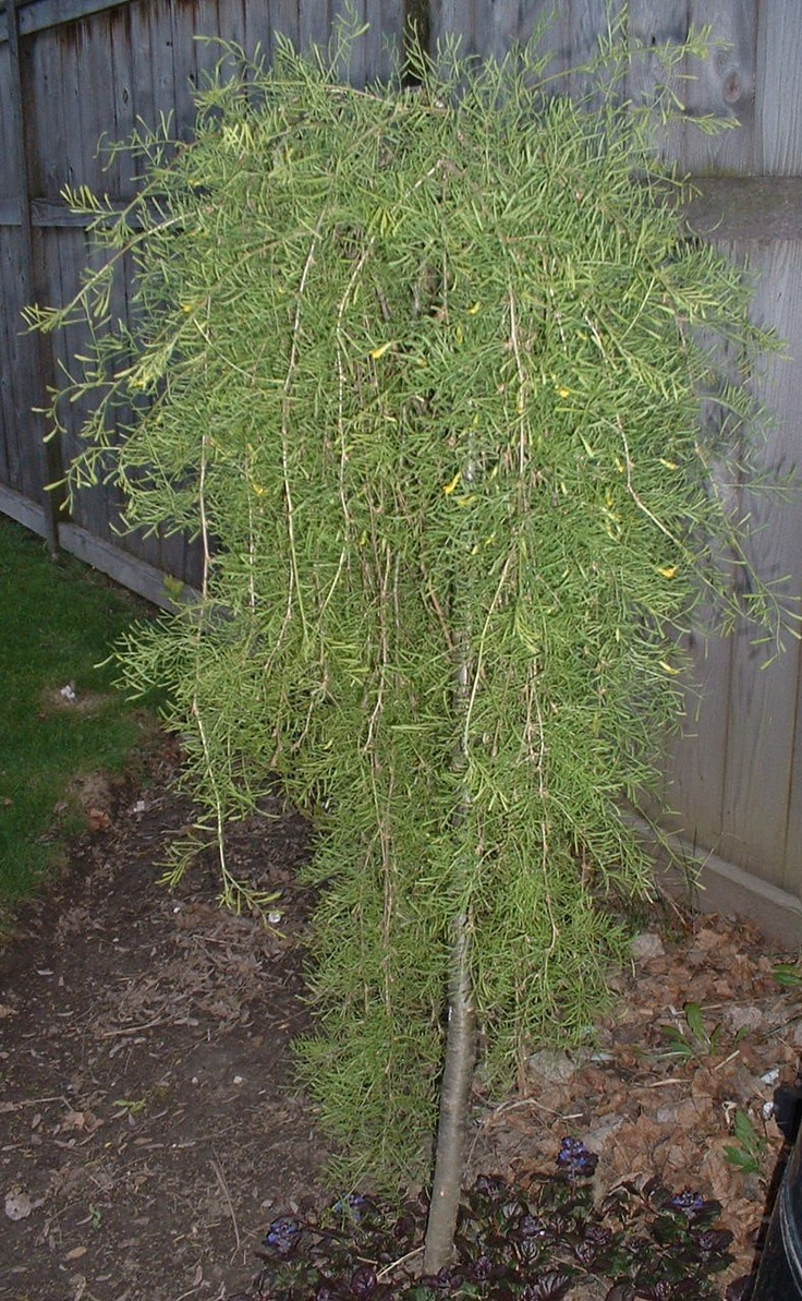 155 best images about flowers plants bushes on pinterest for Weeping garden trees