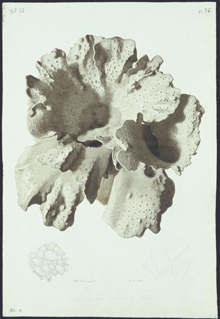 Alfred Riocreux, Haligrantia brassicata Val, 1850 Réunion des musées nationaux