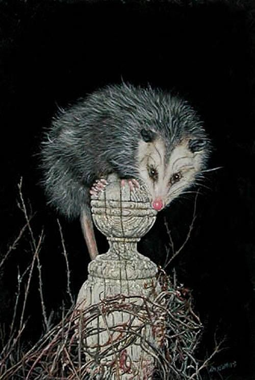 65 Best Images About Possum Art Of The Opossum On