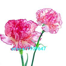 Rare Pink&Purple Stripe Carnation Seeds Balcony Potted Courtyard Garden Plants Seeds Dianthus Caryophyllus Flower Seeds 100PCS(China (Mainland))