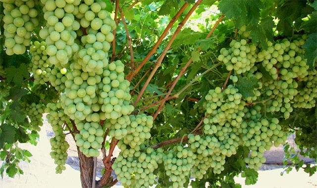 Ever thought of growing your own grapes! Here's an easy how to guide!