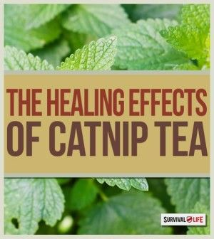 The Healing Properties of Catnip Tea   Medical Tips and Health Benefits of the Herbal Plant by Survival Life at http://survivallife.com/2015/04/08/catnip-tea-healing-properties/