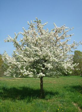 Malus 39 sutyzam 39 sugar tyme crabapple full sun partial for Small flowering trees full sun