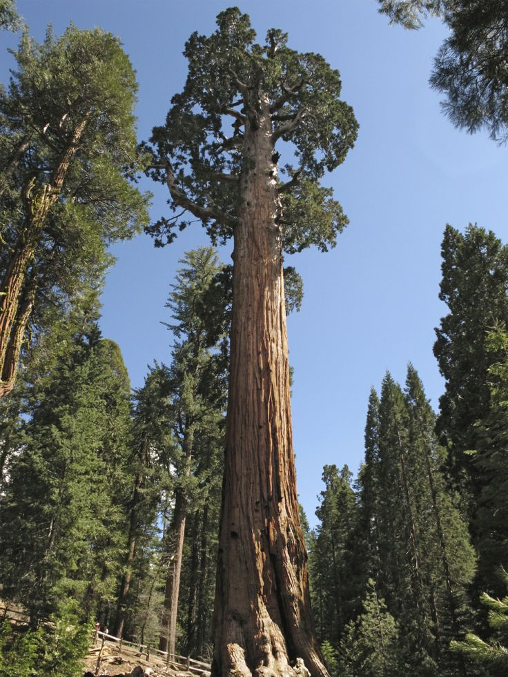 The General Grant Tree is a main attraction on a paved 0.8-mile loop that winds under the boughs of its fellow behemoths. Standing at 267 feet, the mighty sequoia is the world's third-largest tree and was designated the nation's official Christmas in 1928. Yuletide celebrations at its base continue to this day. http://www.visitsequoia.com/John-Muir-Lodge.aspx