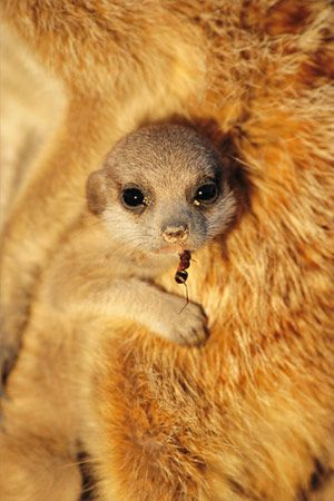 Baby meerkat being babysat by a relative. Kalahari Desert, South Africa. Photo by Matthius Klum. #meerkats