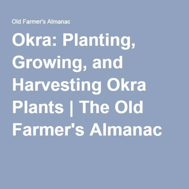 Okra: Planting, Growing, and Harvesting Okra Plants | The Old Farmer's Almanac