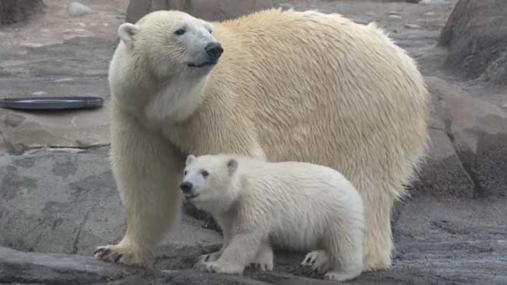 Three new polar bear cubs cavort and splash around at the Columbus Zoo in Ohio.