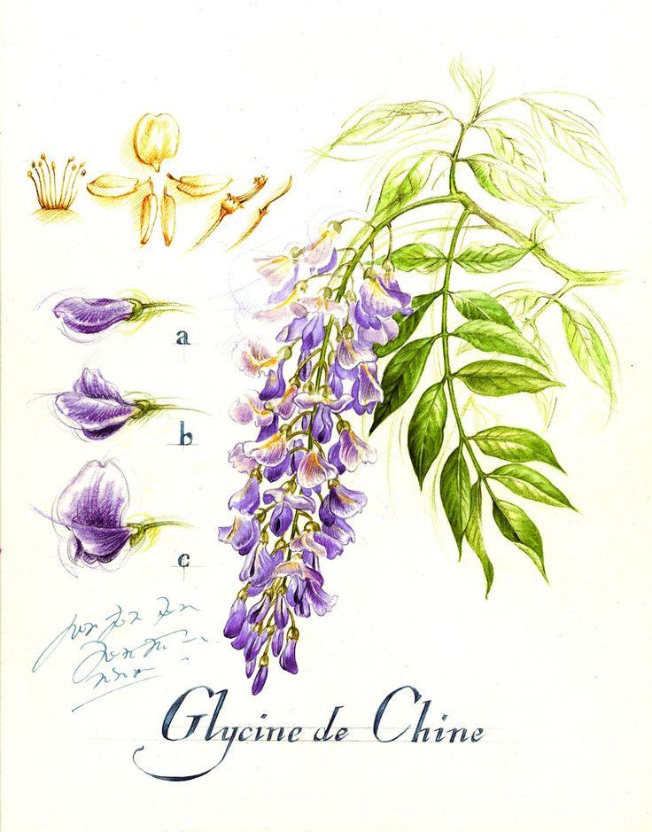 Illustration planche botanique glycine-Florence Gendre
