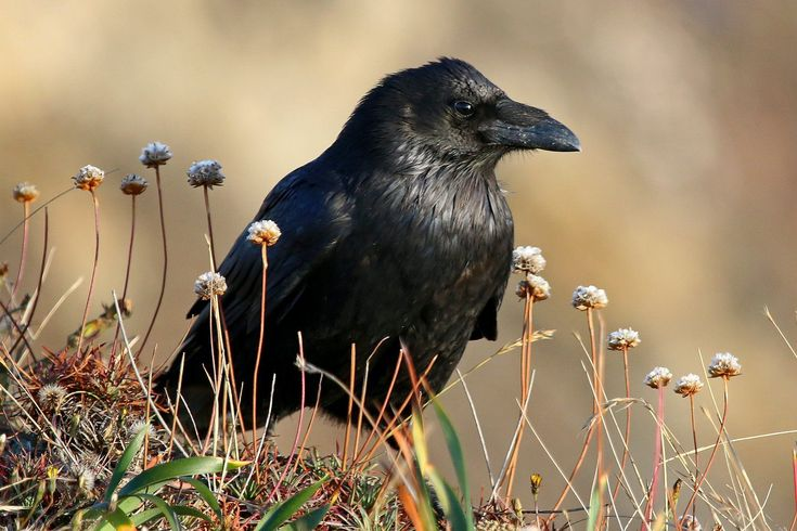 Tips to identify American crows and common ravens, including telling the difference between these two corvids. Includes a quick reference table.