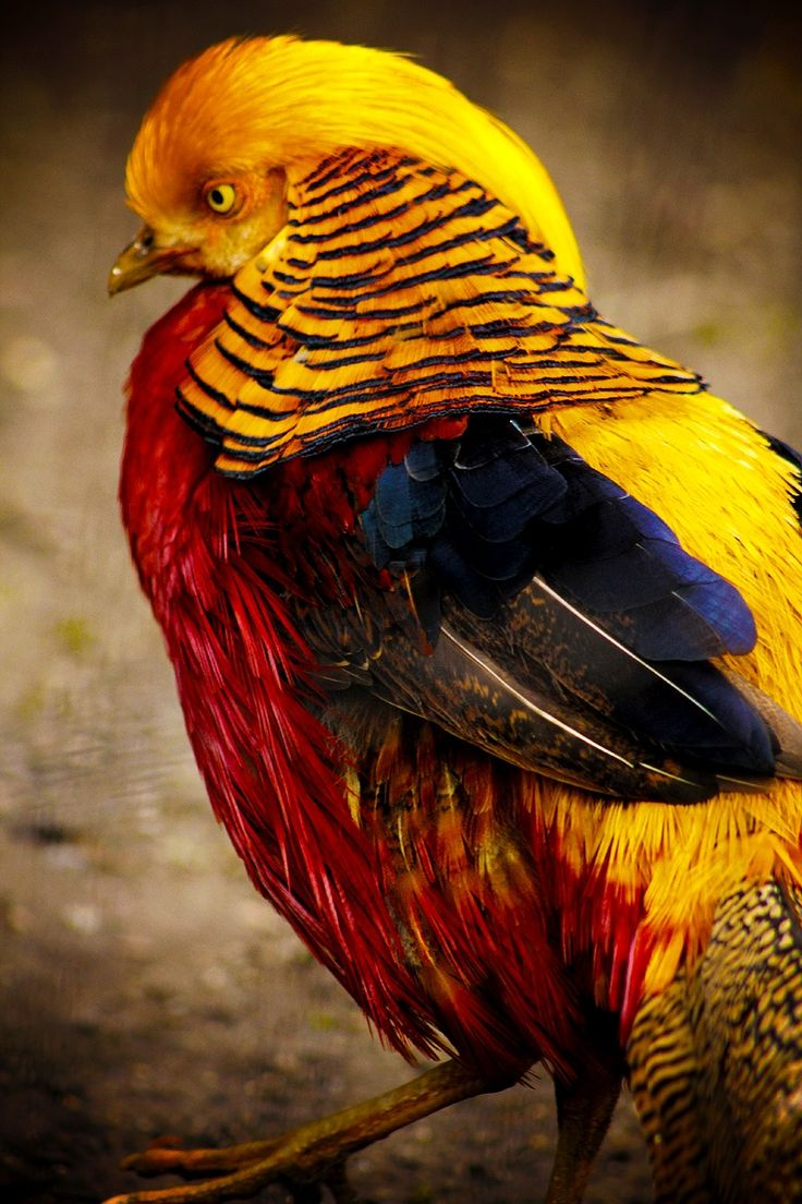 How to clean pheasant feathers - Gold Pheasant