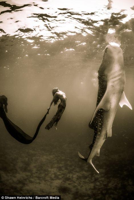 Underwater model, Hannah Fraser, rises with whale shark