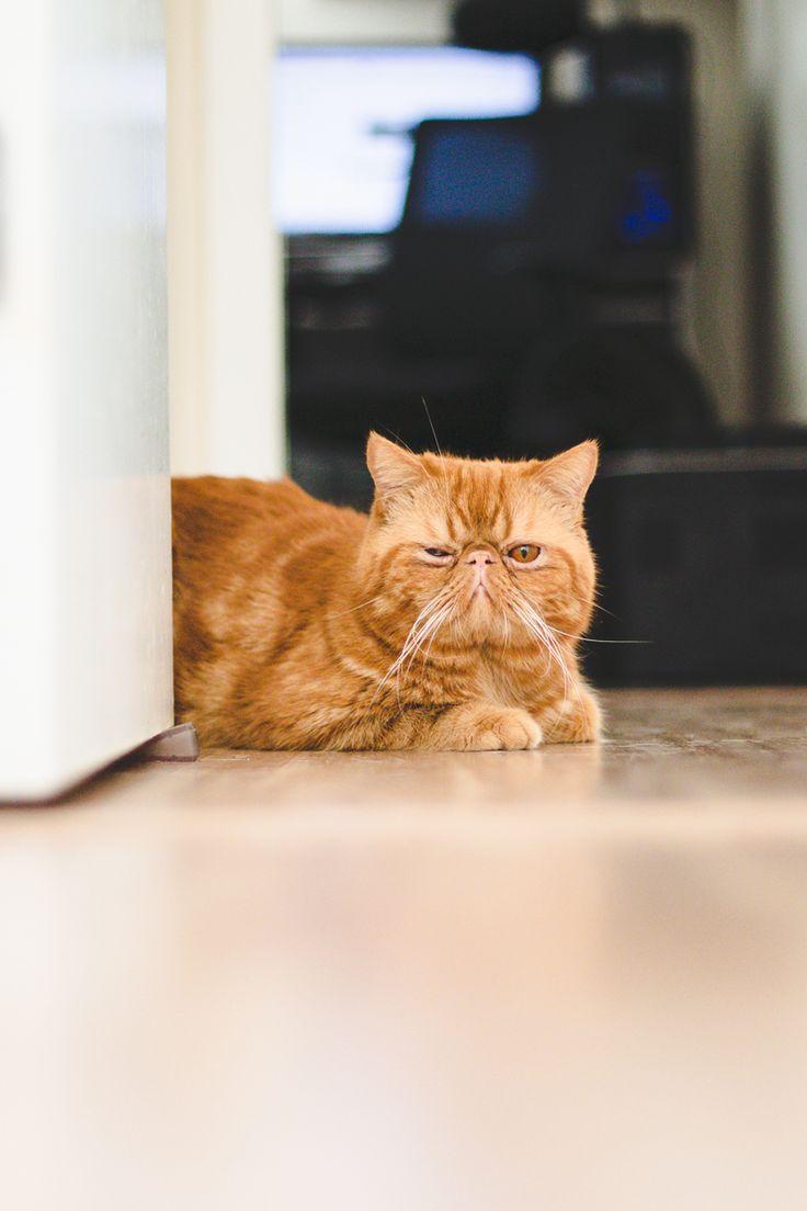 Jimmy, um dos gatinhos da Lia Camargo (Just Lia) da raça Exotic Shorthair. Gato laranja com cara de emburrado que parece com o Garfield e com o Bichento de Harry Potter. Foto por Melina Souza.