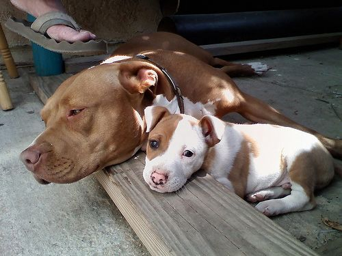 99 best images about Pit bulls!! on Pinterest | Pitbull ...