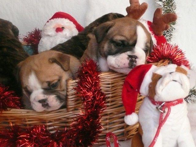 17 best ideas about Christmas Puppy on Pinterest | Sleeping ...