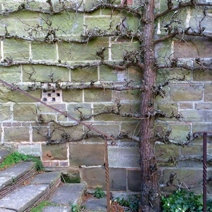 Espaliered fruit trees  the perfect solution for small spaces