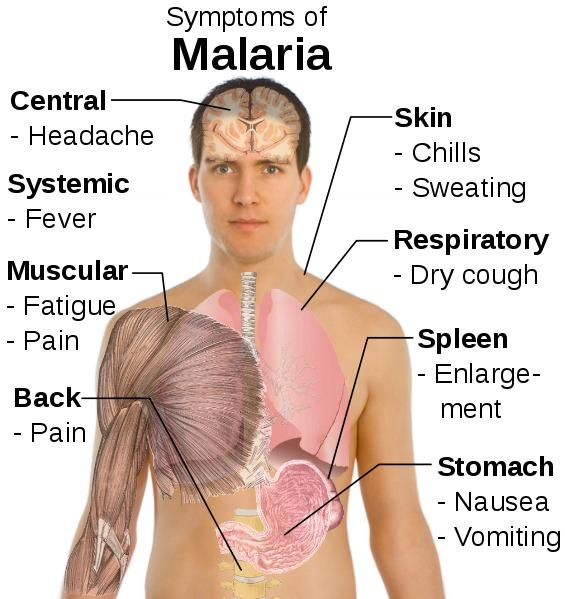 Malaria symptoms show up a week to a few months after being infected by a mosquito bite. Fevers, chills, fatigue, swelling of the spleen, etc... usually occur. With medical treatment, the symptoms should go away in a couple of weeks. However, WITHOUT treatment, and depending on the strain of malaria parasite, an infected person can have symptoms for a few years, up to a few decades.