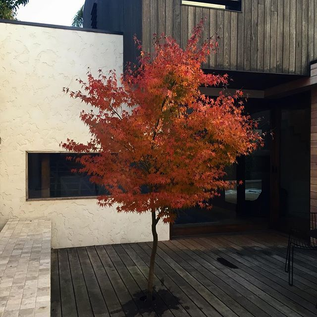 No substitute for the beautiful colours of a Japanese Maple. #armadale #maple #nathanburkettdesign