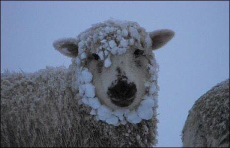 Arm schaap... #sneeuwoptexel