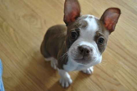 50 Wicked Adorable Pictures Of Boston Terriers I don't need a reason; they're freaking adorable.