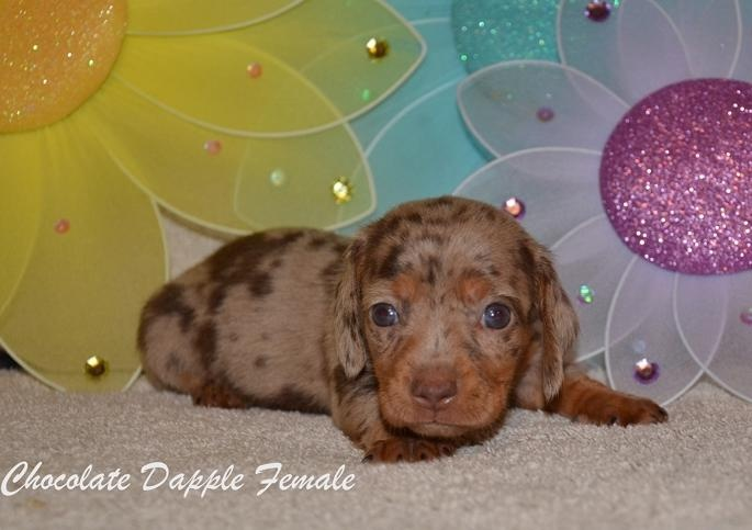 Weiner Dog Puppies For Sale In Ontario