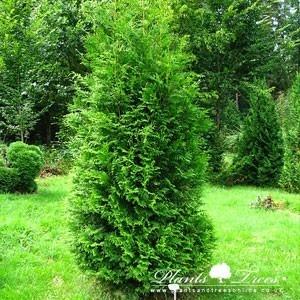 how to grow thuja orientalis
