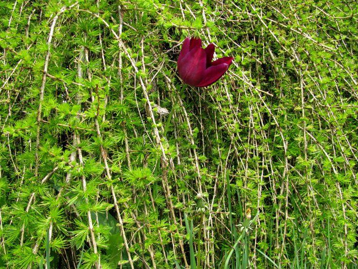 Tulipan w modrzewiu
