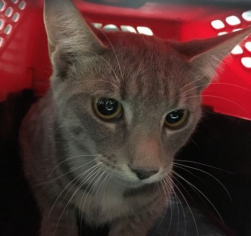LAURENCE -  20805 - - Brooklyn  *** TO BE DESTROYED 02/24/18 *** Laurence is a domestic short hair cat who was surrendered due to his previous owner having medical issues that did not allow her to care for her. -  Click for info & Current Status: http://nyccats.urgentpodr.org/laurence-20805/