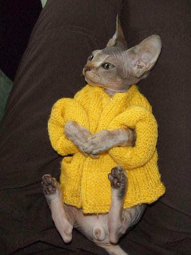 Sphinx cat in a sweater - awwwww!  <3 <3 <3 These cats are so awesome!