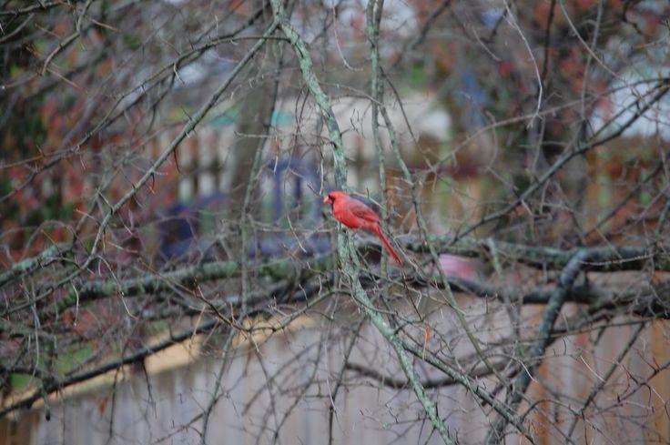 kentucky state flower bird and tree
