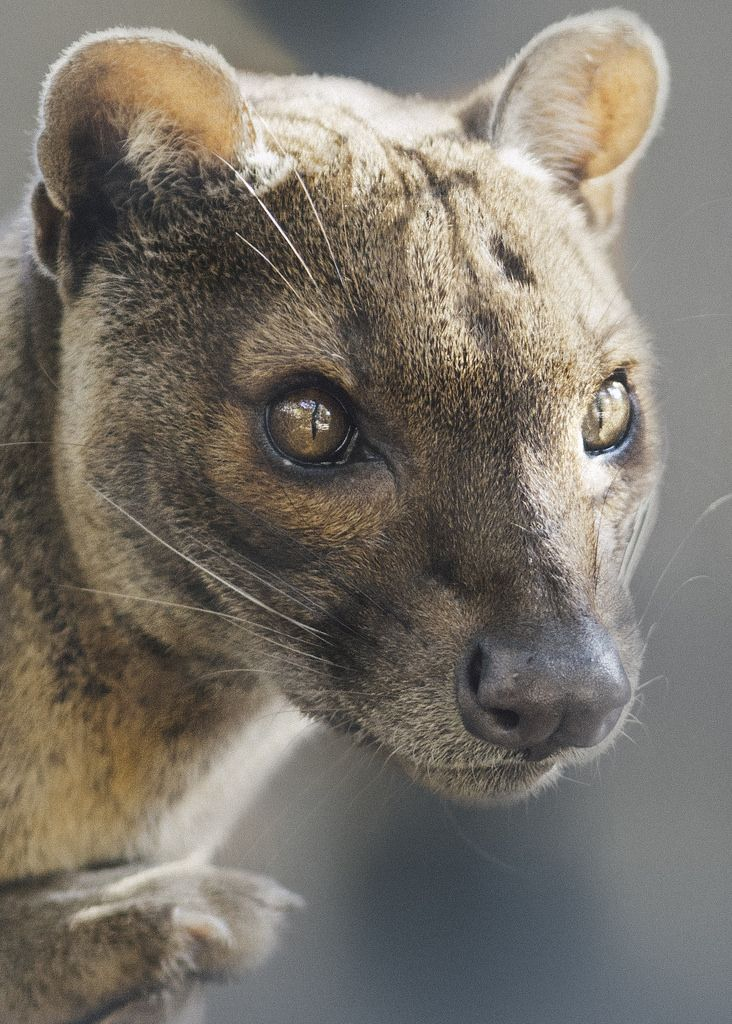 Fossa legends could fill a book! Tales passed along include the belief that the scent left by a fossa kills poultry, the animal can contract its eye pupils so they will disappear completely, and that the fossa creeps into homes and steals babies from their cribs.