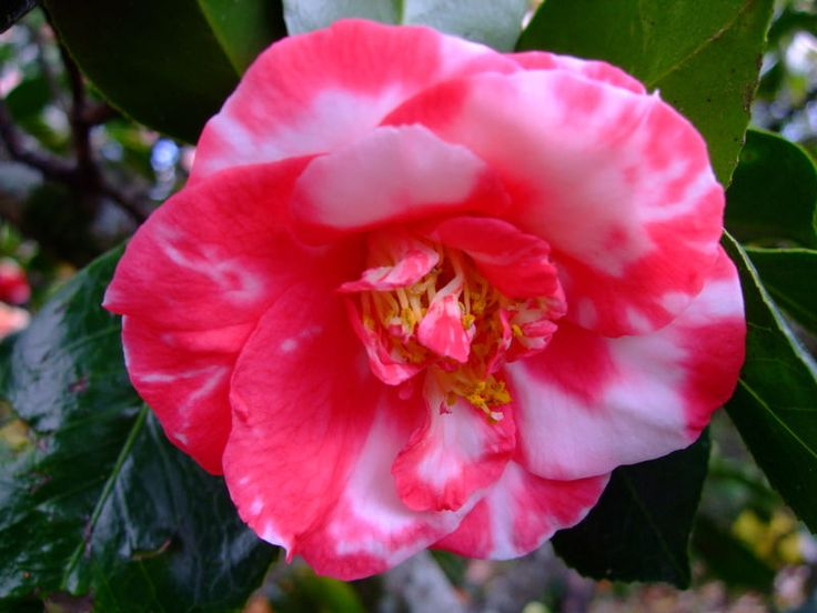 https://flic.kr/p/22tP36W | Camellia | www.youtube.com/user/yewmchan/videos