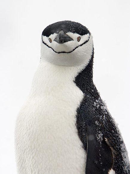 chinstrap penguinPenguins Photography Amo, Sweets Penguins, Animal Photographers, Beautiful Animals, Funny, Penguins Birds, Penguina Gentle, Chinstrap Penquin, Chinstrap Penguins
