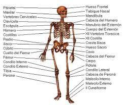 Resultado de imagen para dibujo del cuerpo humano y sus partes