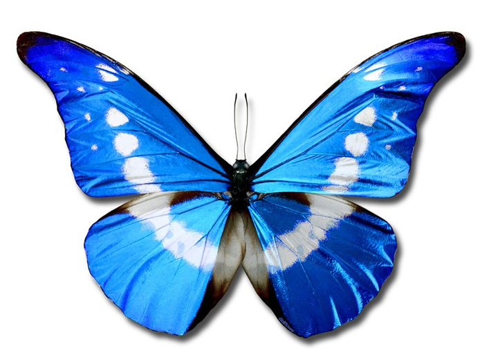 Blue butterflies are sometimes symbolic as love and life, and in some cultures the blue butterfly means joy and rebirth. What does the blue butterfly mean to you?