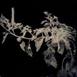 les-sources-du-nil:  Joyce Campbell Atropine From 'Sacred datura, devil's weed'. 'LA Botanical' Series, 2006-2007