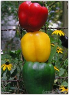 Good to know. Maybe we will have better lick this season. Grow Great Peppers | Homegrown Peppers : Gardening