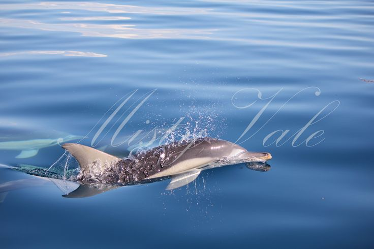 Dolphins above and below water